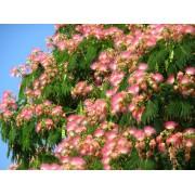 Альбииция ленкоранская (Шелковое дерево)