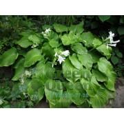 Хоста Подорожниковая (Hosta plantaginea) размер L