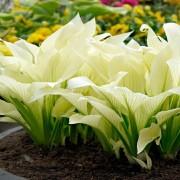 Хоста Вайт Фезер (White Feather) размер М