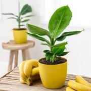 Банан комнатный Киевский Карлик