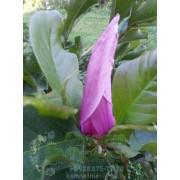 Магнолия лилиецветная Нигра