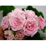 Пеларгония Иви-гибрид Achievement Rosebud