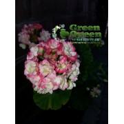 Пеларгония розебудная Apple Blossom Rosebud