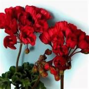 Пеларгония тюльпановидная Carmen Andrea