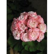 Пеларгония розебудная Denise(Sutarve)