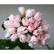 Пеларгония тюльпановидная Emma fran Вengtsbo