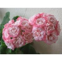 Пеларгония розебудная Fischers Appleblossom