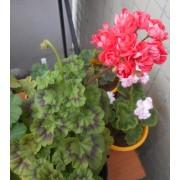 Пеларгония розебудная Ю-Джига