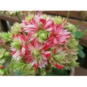 Пеларгония кактусовидная Mallorka