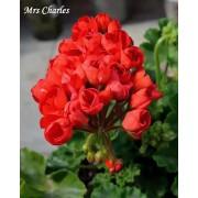 Пеларгония тюльпановидная Mrs. Charles
