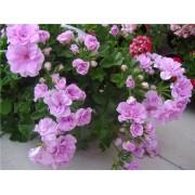 Пеларгония плющелистная Lilac Rose