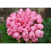 Пеларгония тюльпановидная Pink Pandora