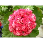 Пеларгония розебудная Pink Rambler