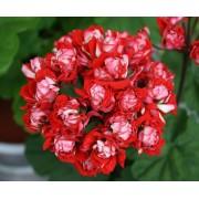 Пеларгония розебудная мини Vectis Rosebud