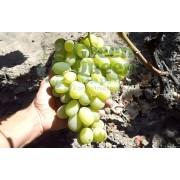 Виноград столовый Богатяновский