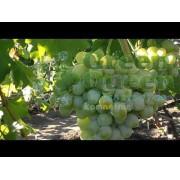Виноград столовый Эмигрант