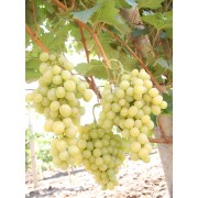 Виноград столовый Италия