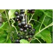 Смородина черная сорт Кубанская красавица