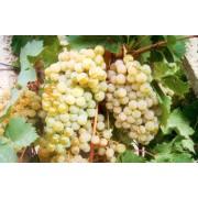 Виноград технический (винный) Цитронный Магарача