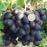 Виноград столовый Каталония