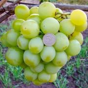 Виноград столовый Кеша