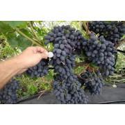 Виноград столовый Кодрянка