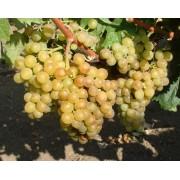 Виноград технический (винный) Мускат альпийский