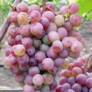 Виноград технический (винный)  Мускат розовый