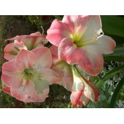 Гиппеаструм Apple Blossom
