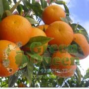 Апельсин Бананза (Skaggs Bonanza)
