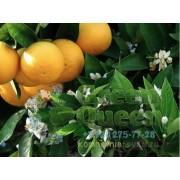 Сладкий апельсин