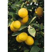 Лимон Ударник