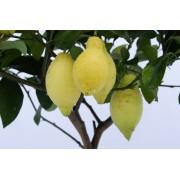 Лимон Флорентина