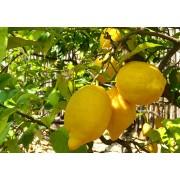 Лимон Овале ди Сорренто