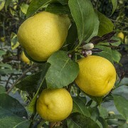Лимон Перетта