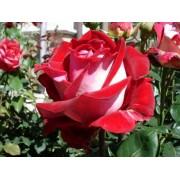 Роза чайно-гибридная Alliance (Альянс)