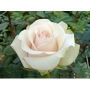 Роза чайно-гибридная Amelia (Амелия)