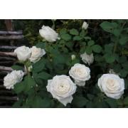 Роза чайно-гибридная Anastasija (Анастасия)