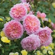 Роза английская Anne Boleyn(Анна Болейн)