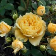 Роза шраб Anny Duperey (Анни Дюпре)