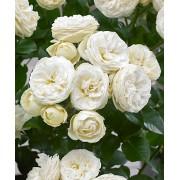 Роза шраб Artemis (Артемис)
