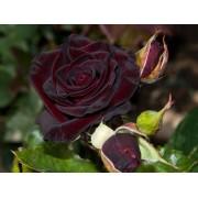Роза чайно-гибридная Black Magic(Черная магия)