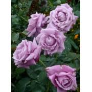 Роза чайно-гибридная Blue Nile (Голубой Нил)
