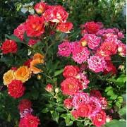Роза спрей Chili Clementine (Чили Клементина)