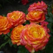Роза чайно-гибридная Circus (Циркус)