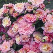 Роза флорибунда Country Girl (Кантри герл)