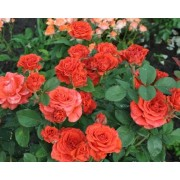 Роза чайно-гибридная El Toro (Эль Торо)