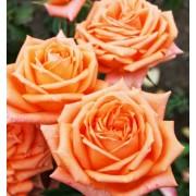Роза чайно-гибридная Eldorado (Эльдорадо)