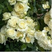 Роза плетистая Elfe (Эльф) клаймбер