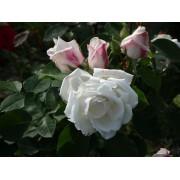 Роза чайно-гибридная Frau Karl Druschki (Фрау Карл Друшки)